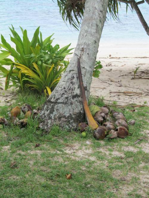 coconuts on ground